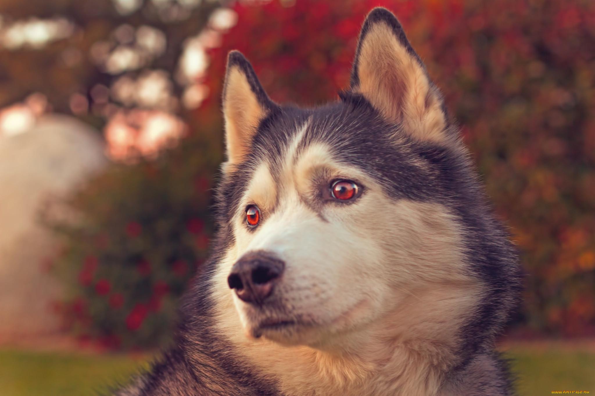 красивые картинки животных хаски находится как проехать